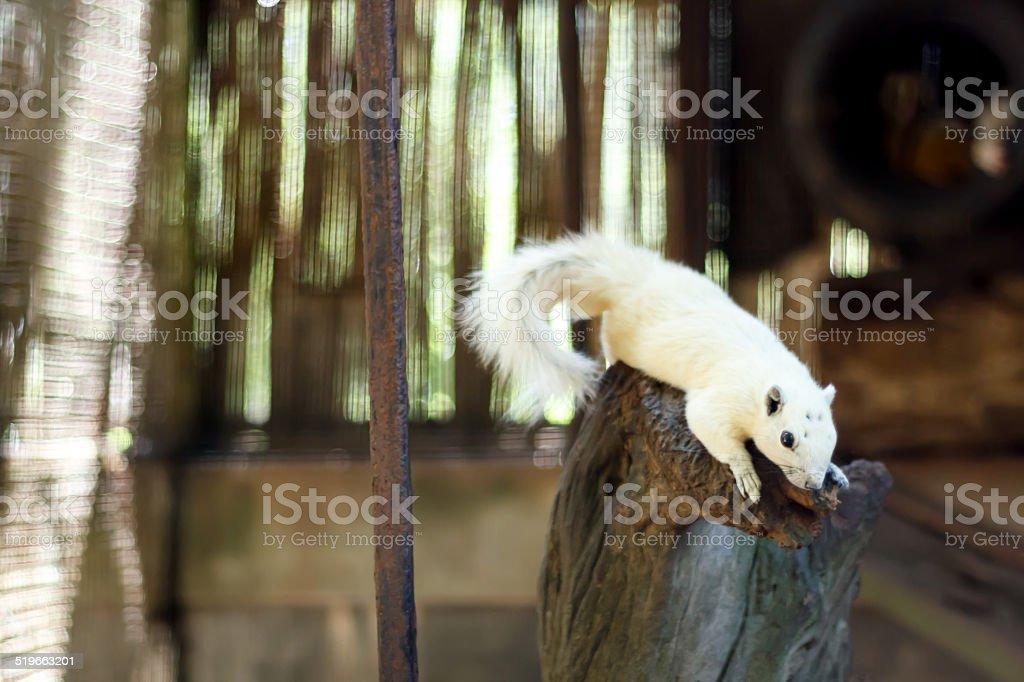 white squirrel at Wildlife Breeding Centre,Chiang Rai stock photo