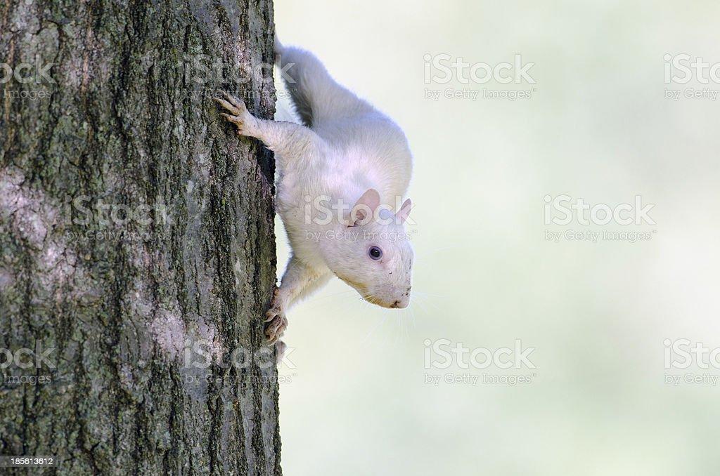 White squirrel royalty-free stock photo