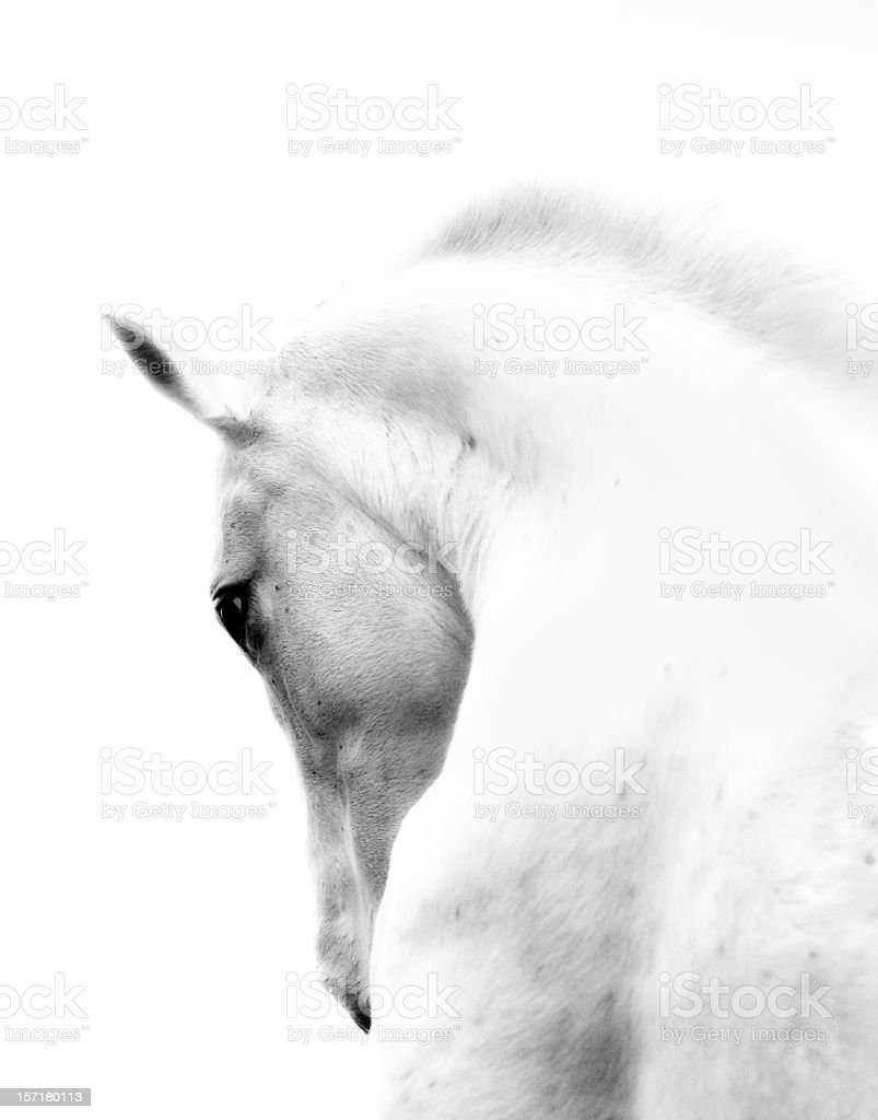 White Stallion Andalusian Horse Neck Kind Eye stock photo