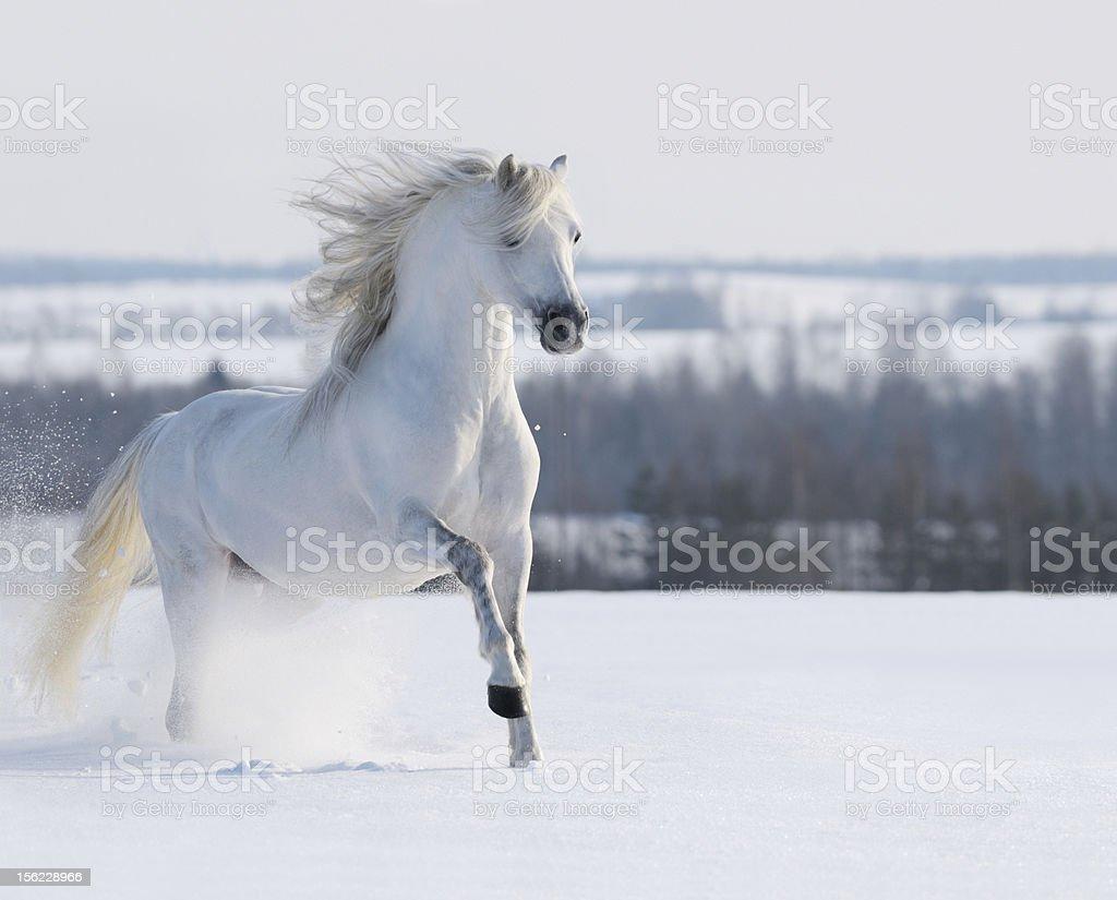 White stallion galloping stock photo