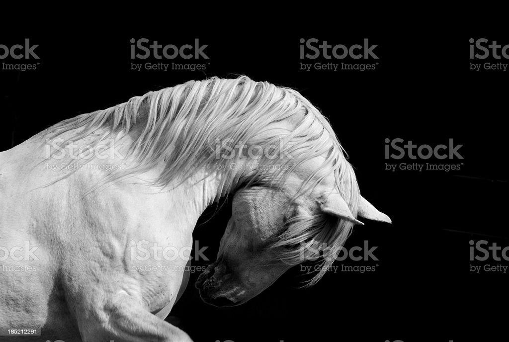 White Stallion Horse Andalusian BW Dressage stock photo