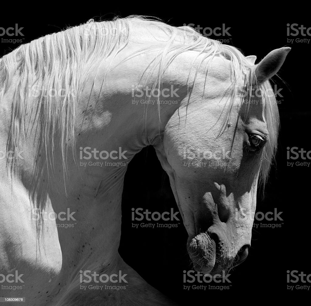 White Stallion Horse Andalusian BW stock photo