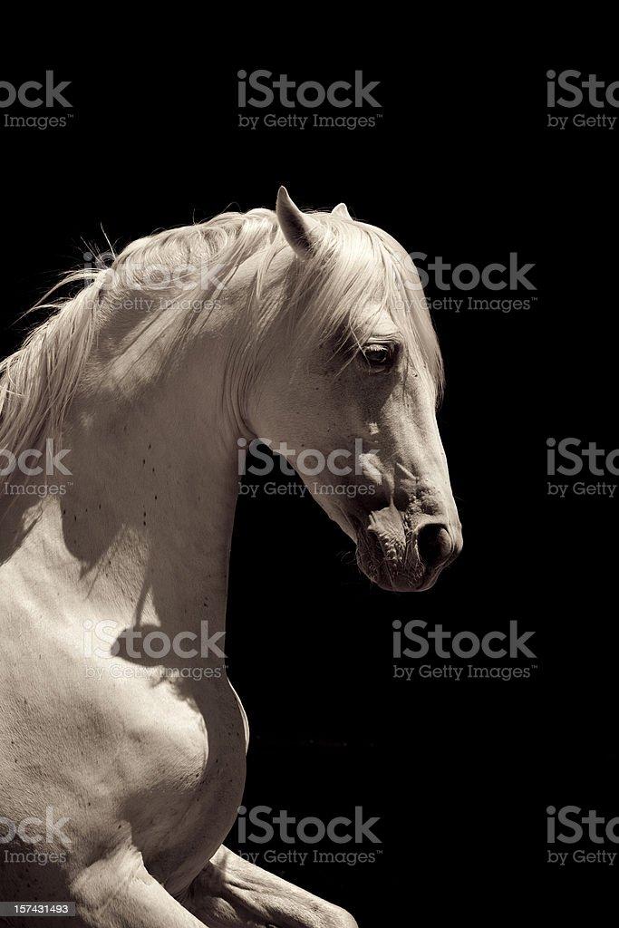 White Stallion Horse Andalusian royalty-free stock photo