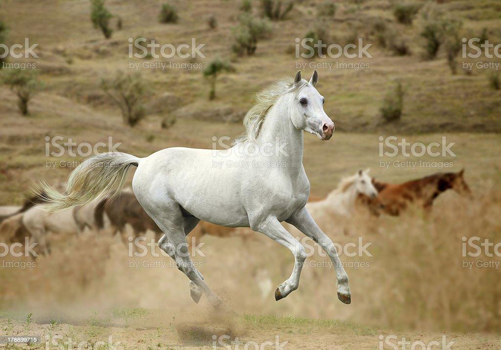 white stallion royalty-free stock photo