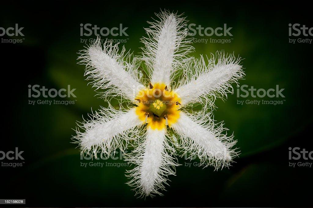 White star lotus royalty-free stock photo