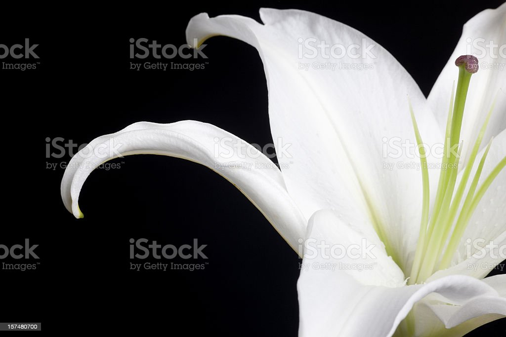 White Stargazer Lily, Flower, Petals, Isolated-on-Black, Close-up, Copyspace stock photo