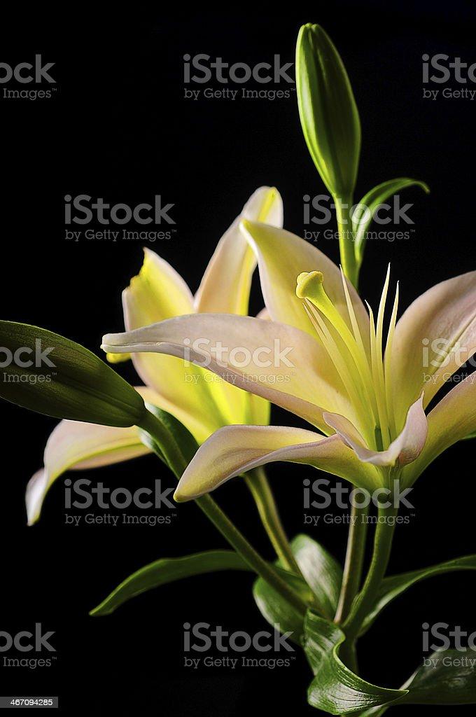 white stargazer lily flower stock photo