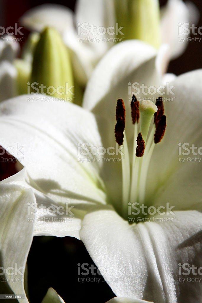 White Stargazer Lily in the Sunlight stock photo