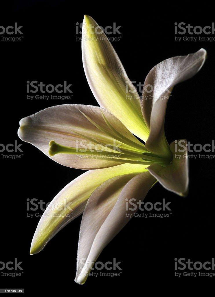 white stargazer lily stock photo