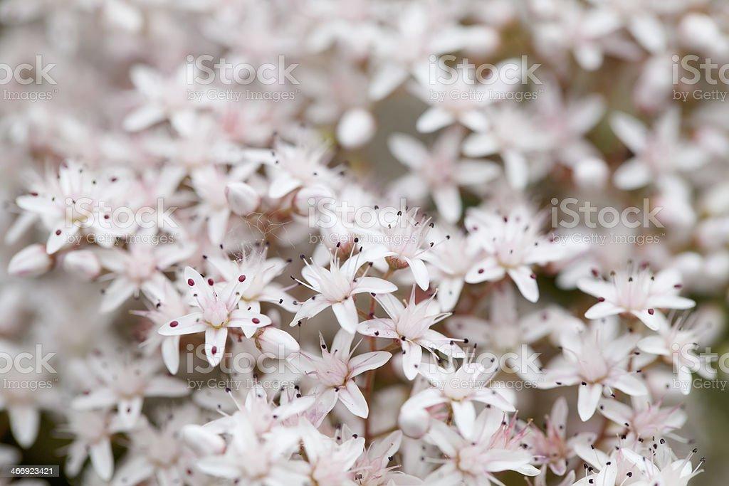 White stonecrop (Sedum album) in detail royalty-free stock photo
