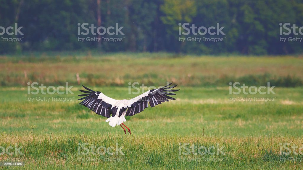 White stork [Ciconia ciconia] at the meadow stock photo
