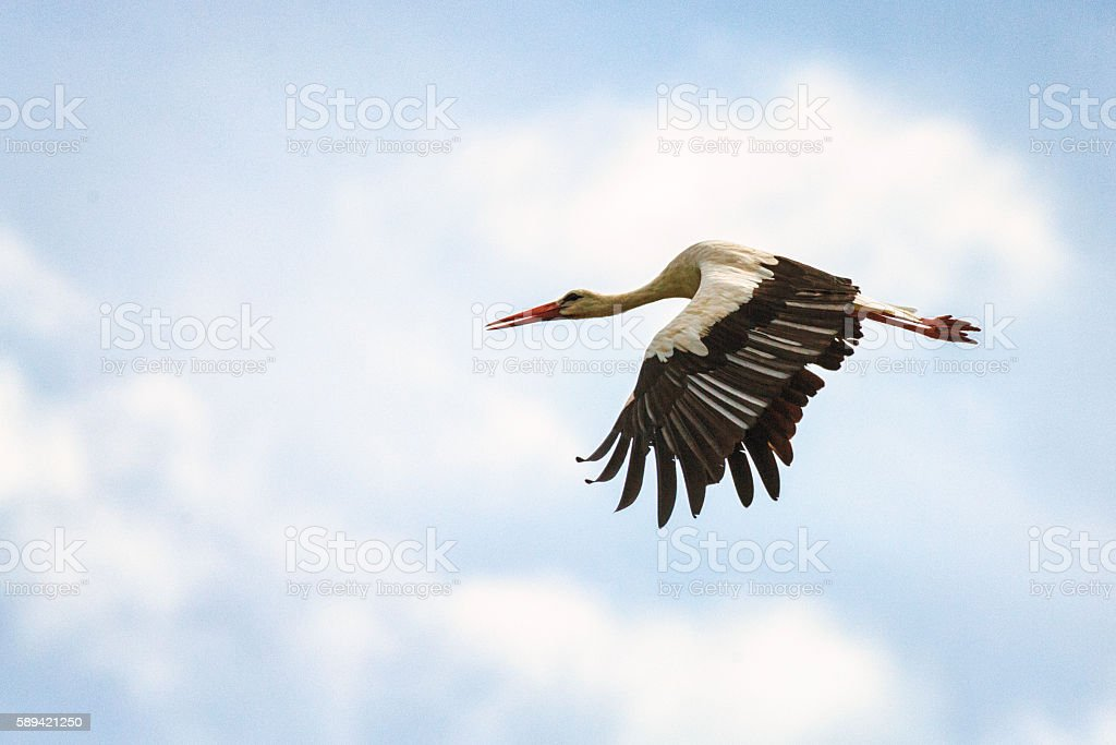 White stork [Ciconia ciconia] in the sky stock photo