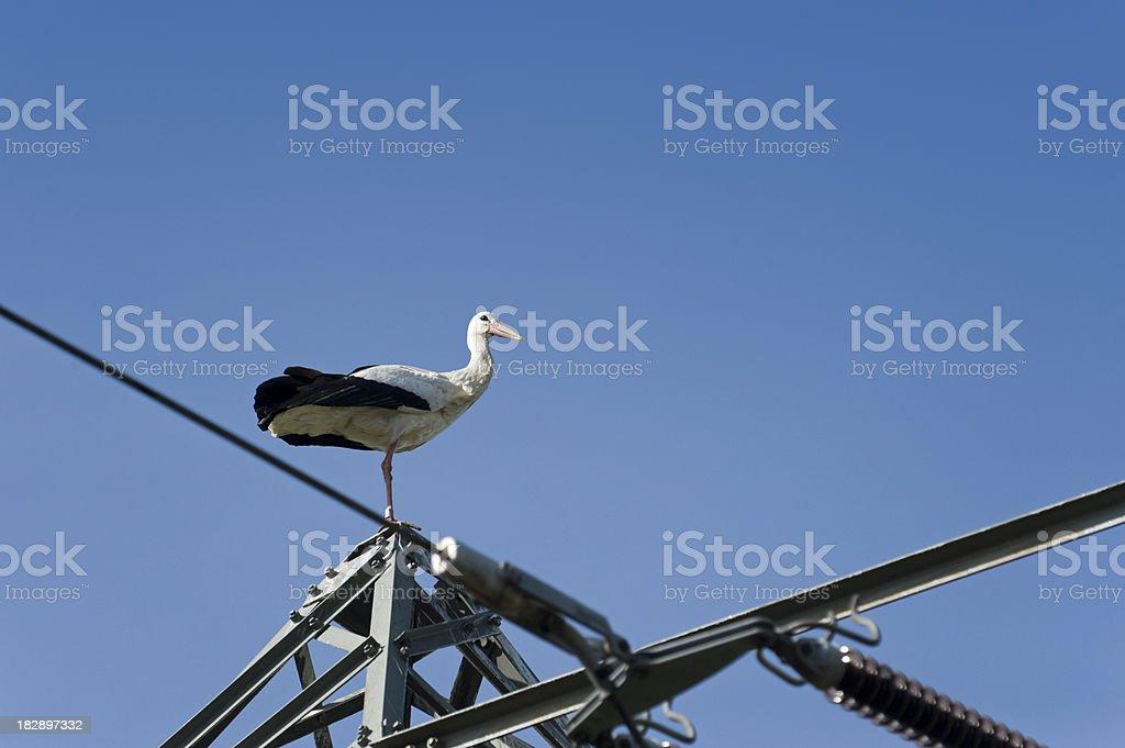 White Stork Ciconia stock photo