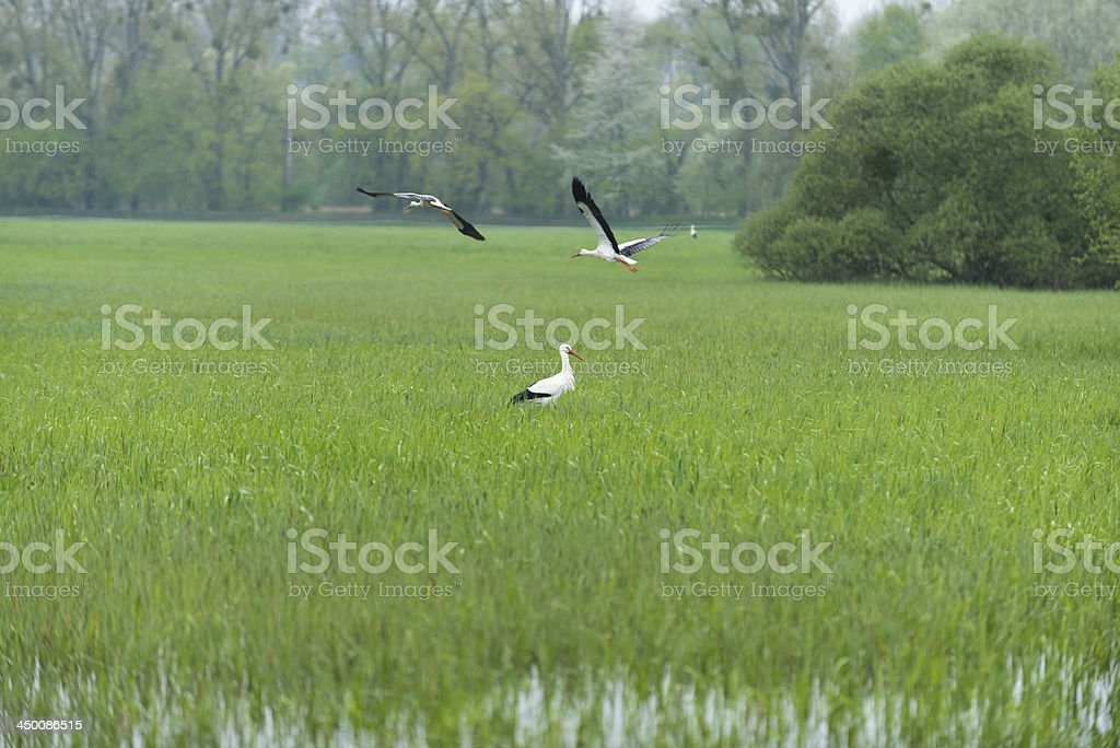 White Stork Ciconia search for food foraging stock photo