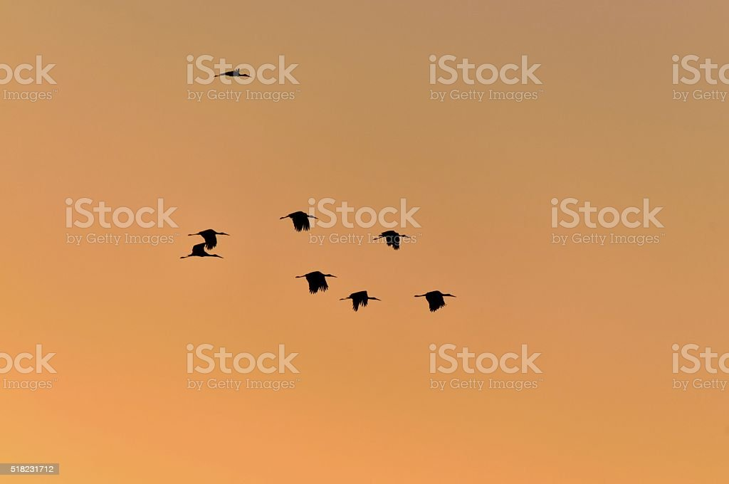 White Stork Flock at Sundown stock photo