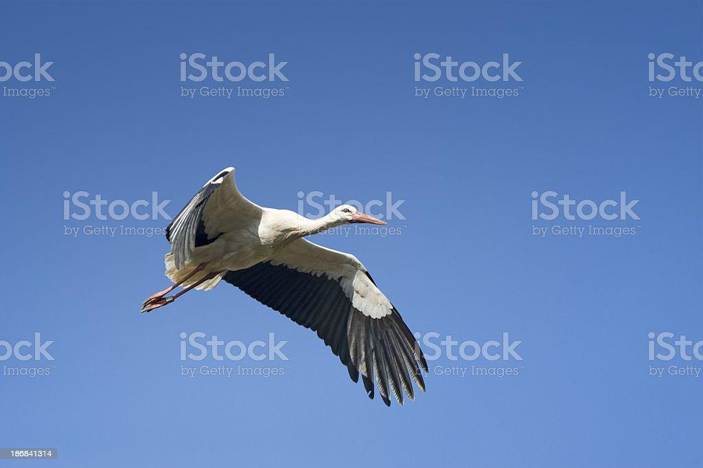 White Stork flying Ciconia stock photo