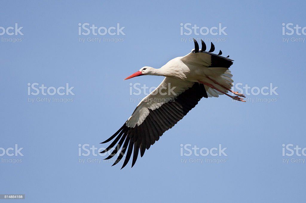 White Stork flying overhead stock photo