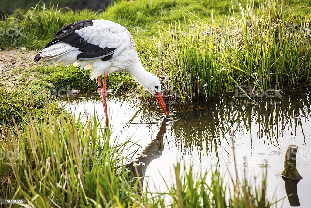 White stork hunting royalty-free stock photo
