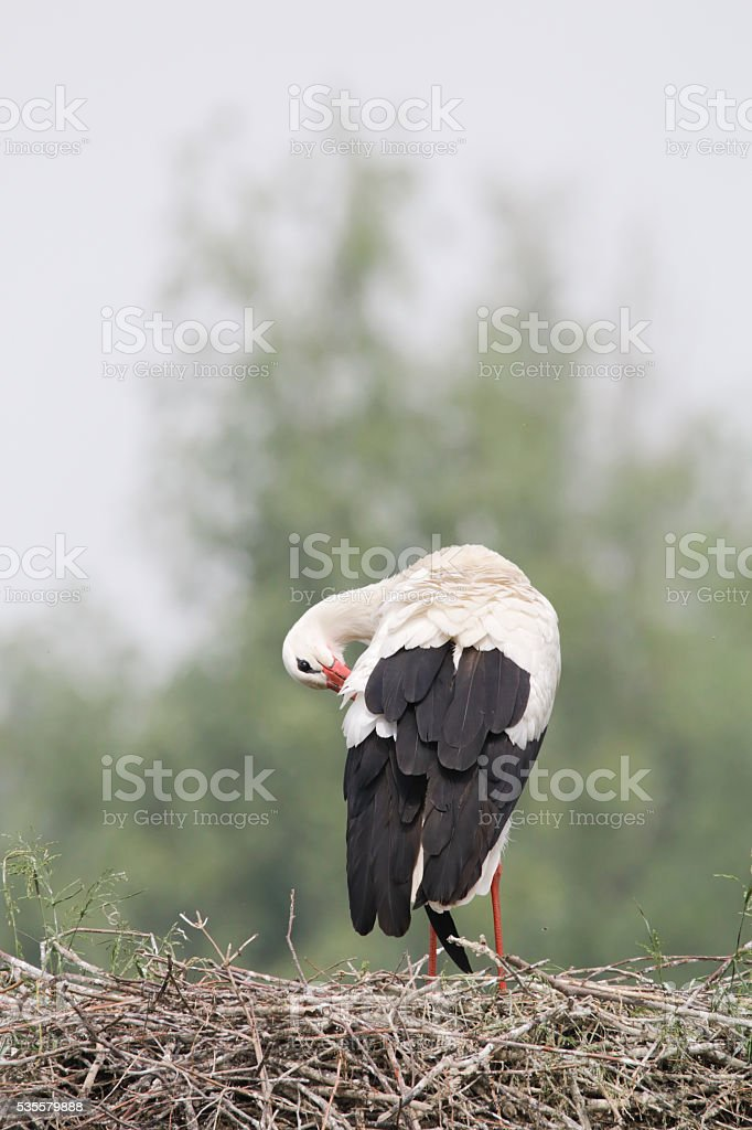 White Stork (Ciconia ciconia) on Nest stock photo