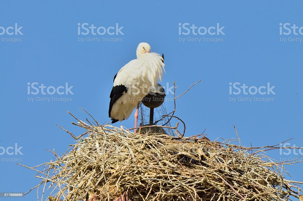 White Stork Parent in Tillicht Moroccan stock photo
