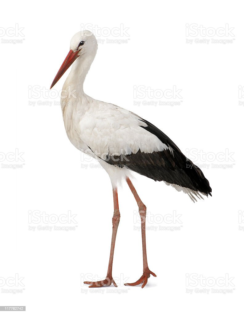 White Stork (18 months) stock photo