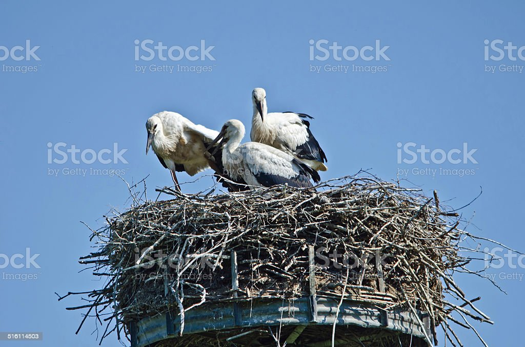 Wei?storch stock photo