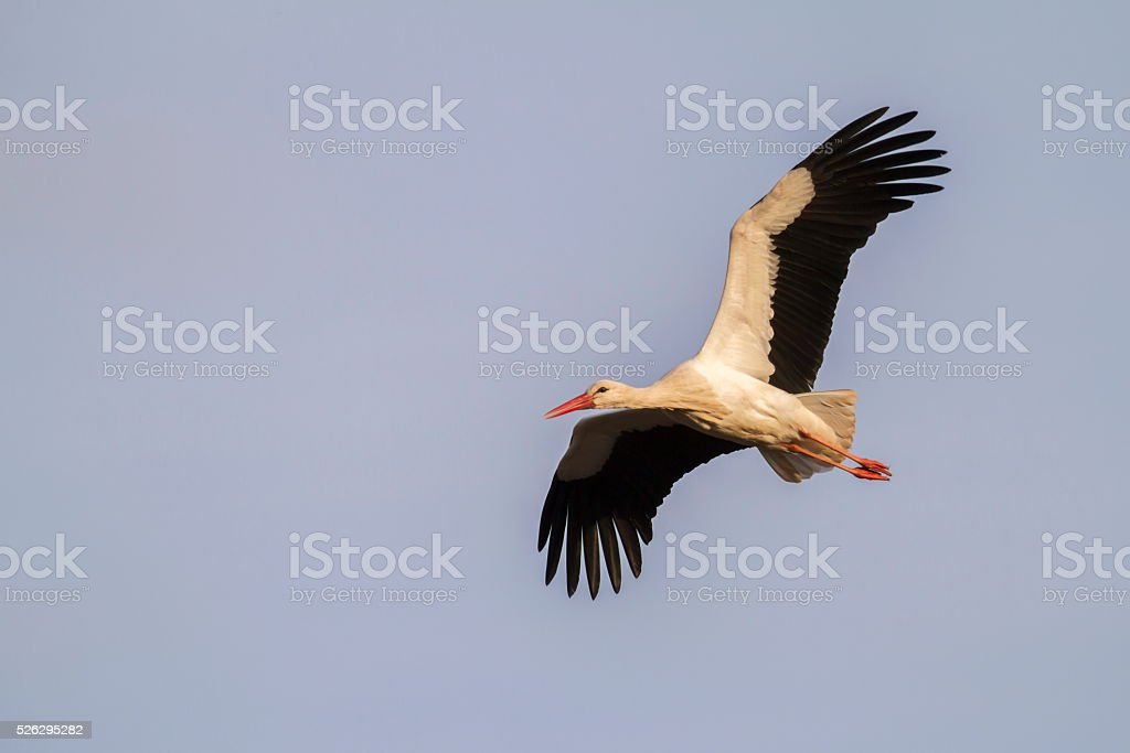 White stork (Ciconia ciconia) stock photo