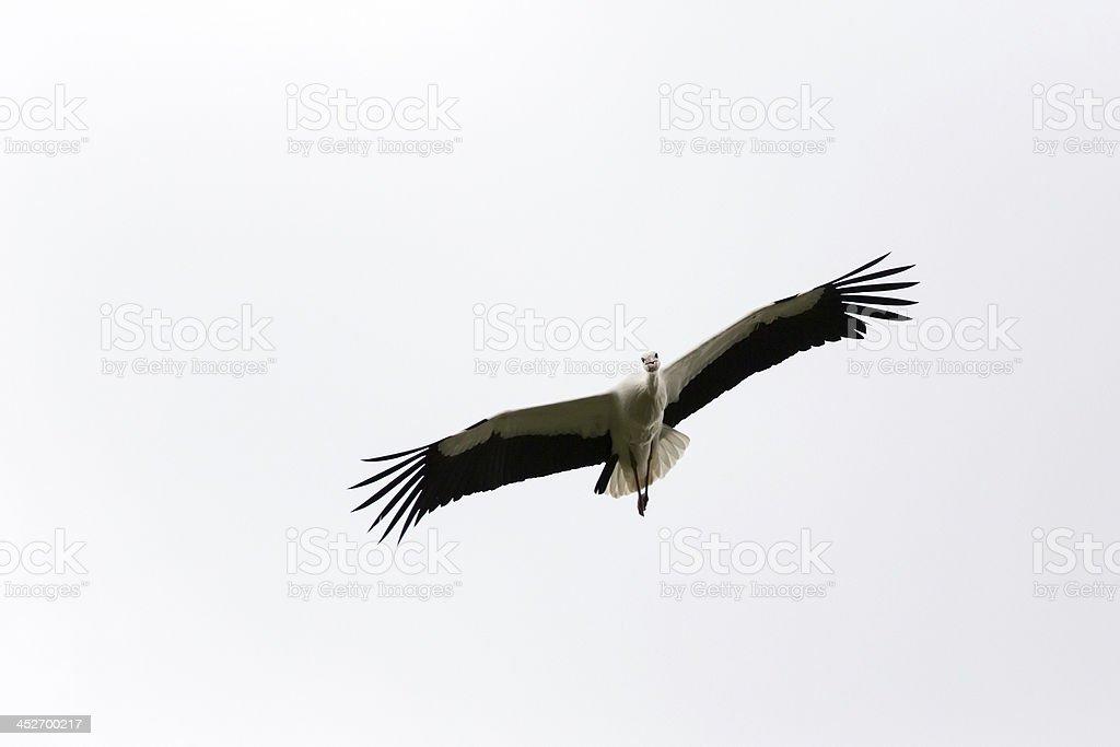 White Stork slying towards Camera royalty-free stock photo