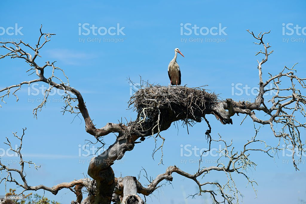 White stork standing on nest in bare tree stock photo