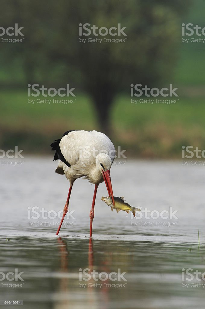 White Stork with fish royalty-free stock photo