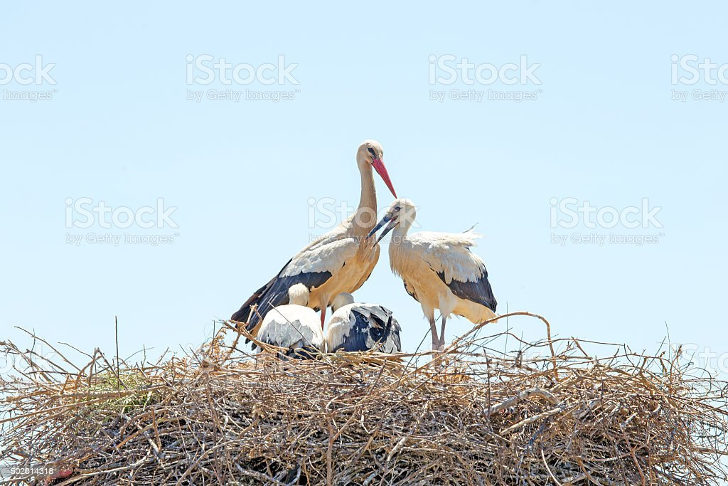 White stork with young baby storks on the nest stock photo
