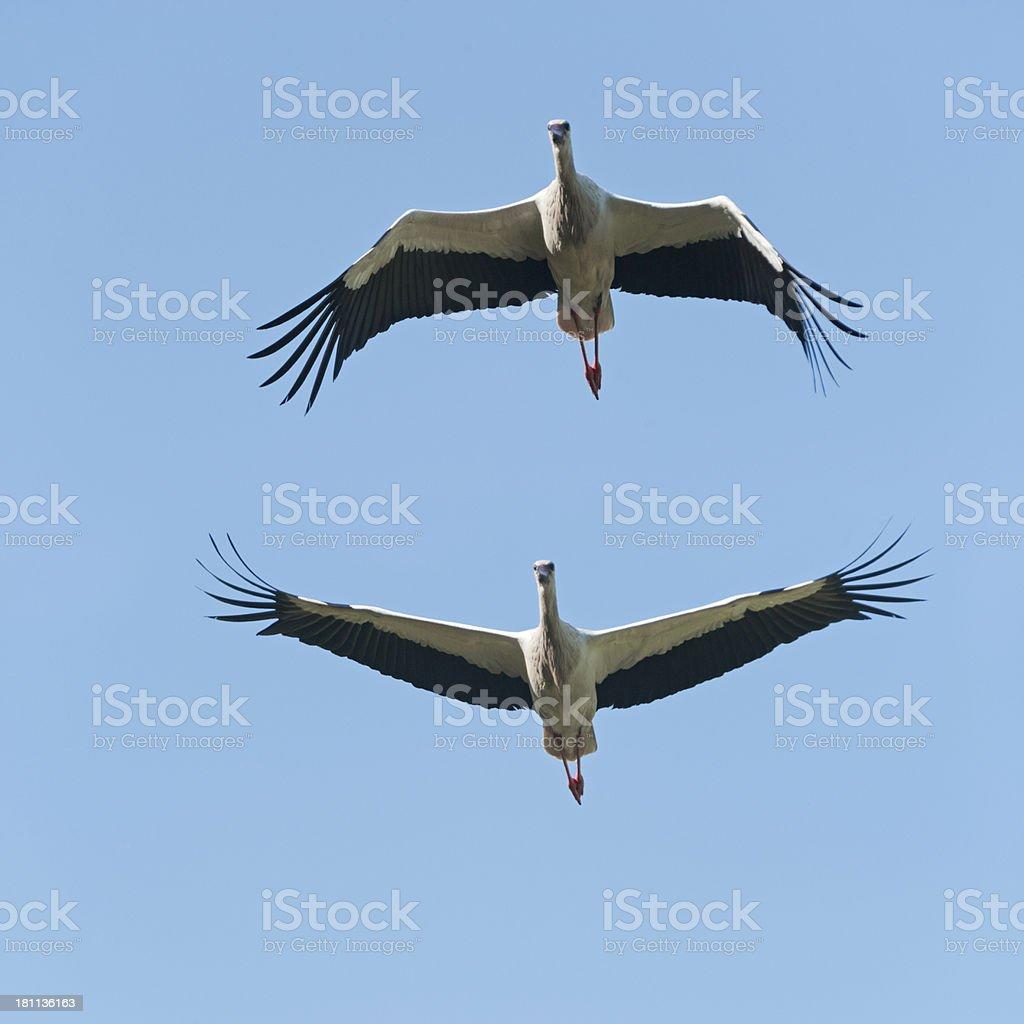 White Storks flying Ciconia stock photo