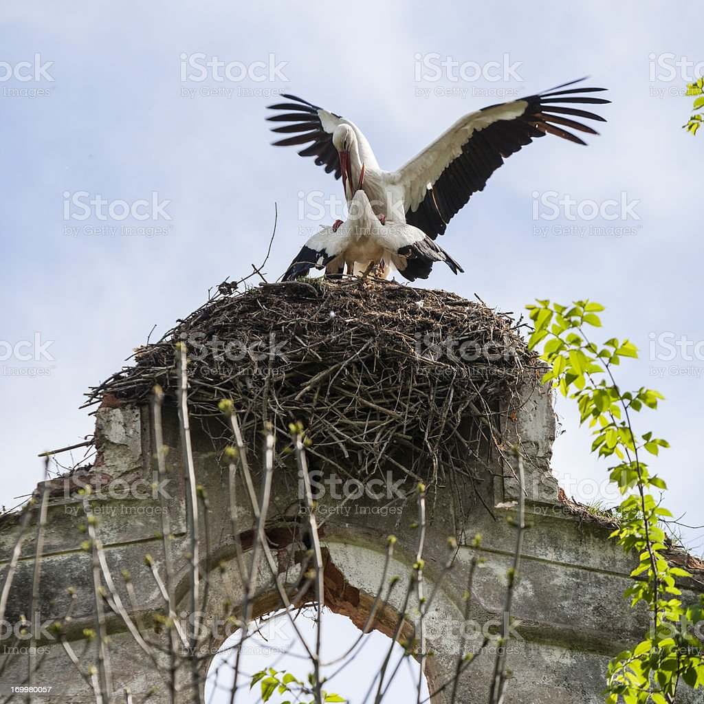 White Storks have sex in the nest stock photo