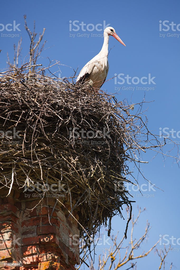 White storks in nest stock photo