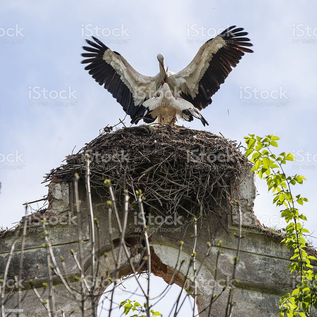 White Storks Mating In The Nest stock photo