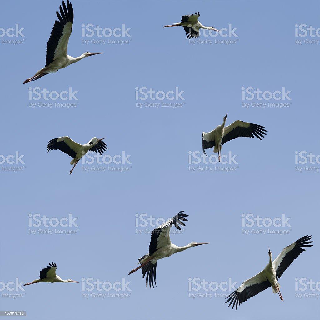 White Storks (image size XXXL) stock photo