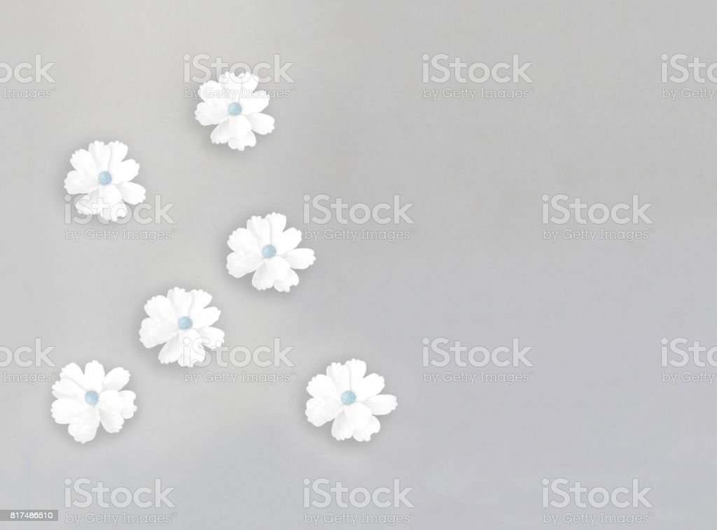 White sugar daisies on gray background stock photo