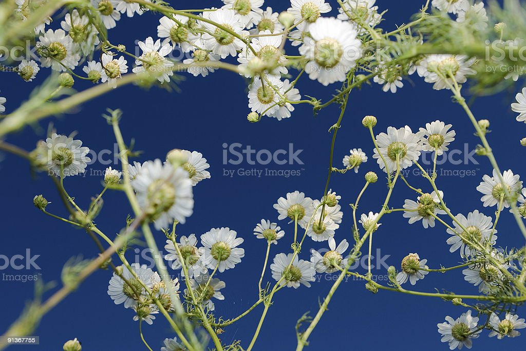 White summer daisies at blue sky royalty-free stock photo