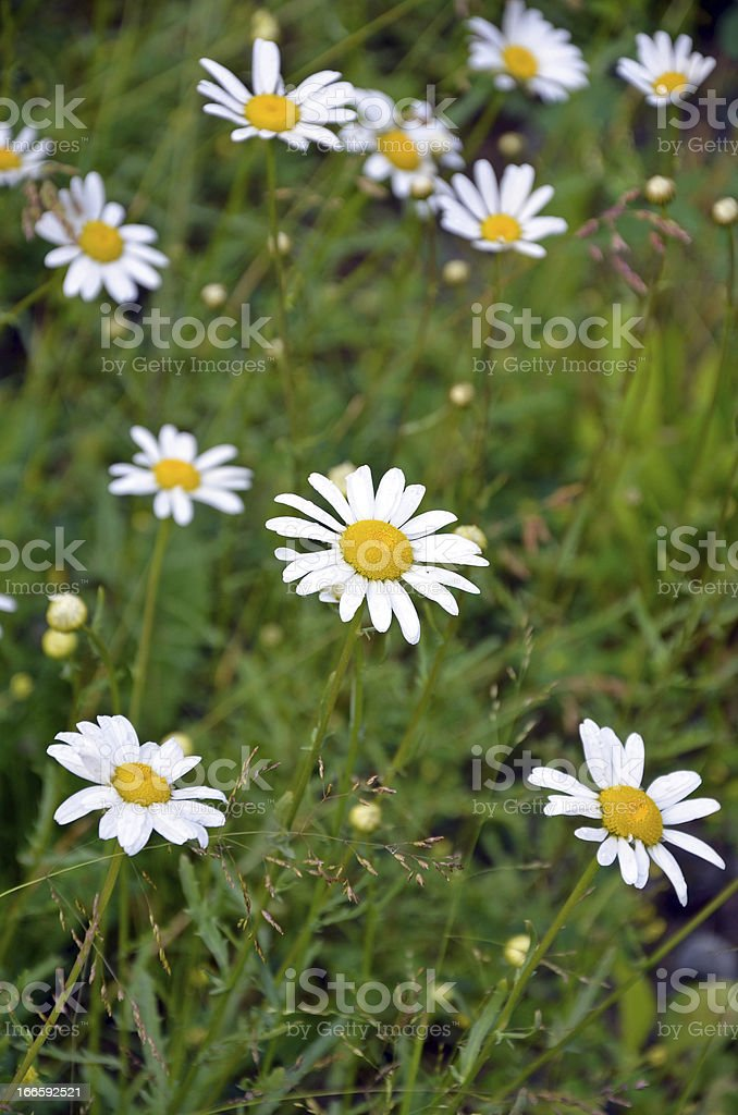 White summer daisies royalty-free stock photo