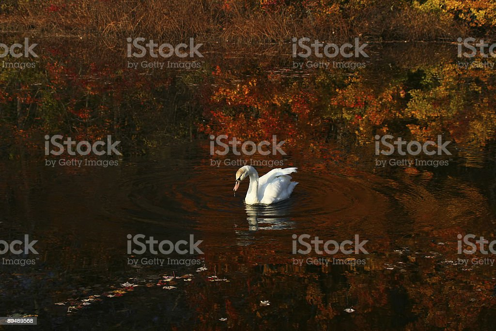 White Swan and Fall Reflections royalty-free stock photo