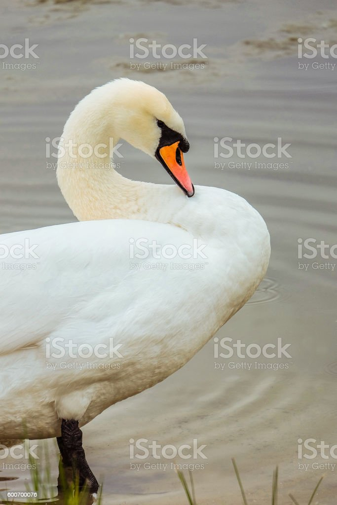 White Swan cleans feathers standing in water stock photo