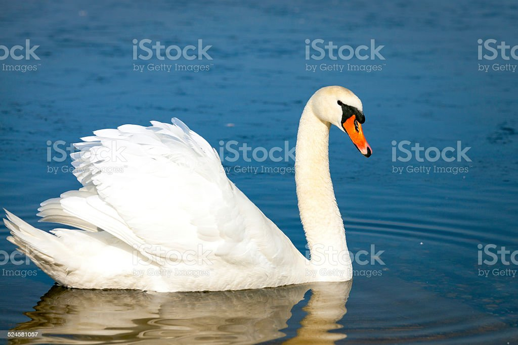 White swan. Color image stock photo