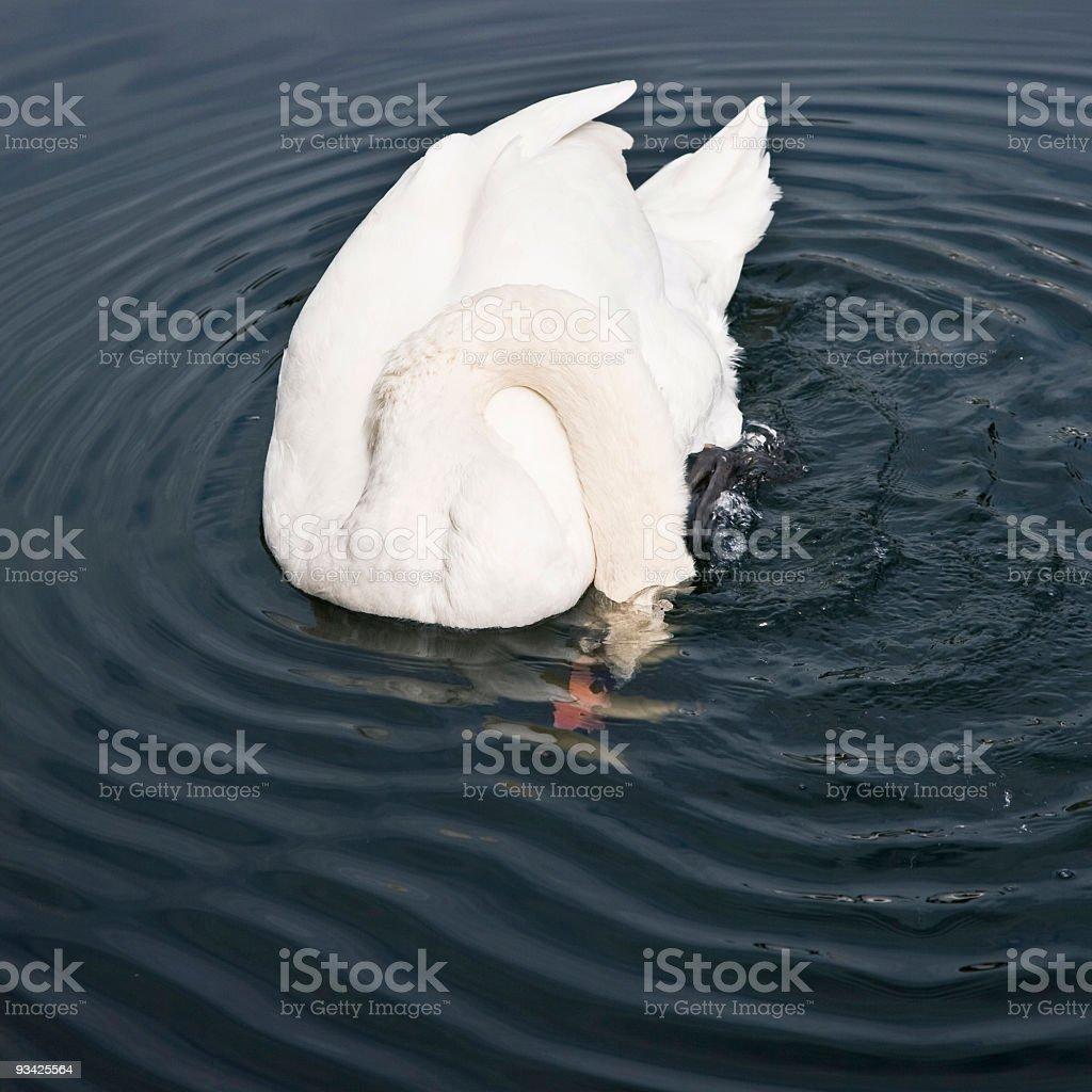 White Swan Diving stock photo