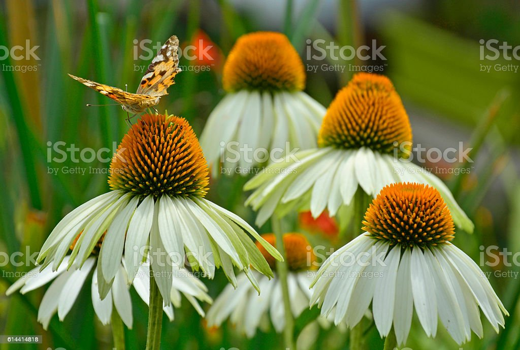White Swan Echinacea with Butterfly stock photo