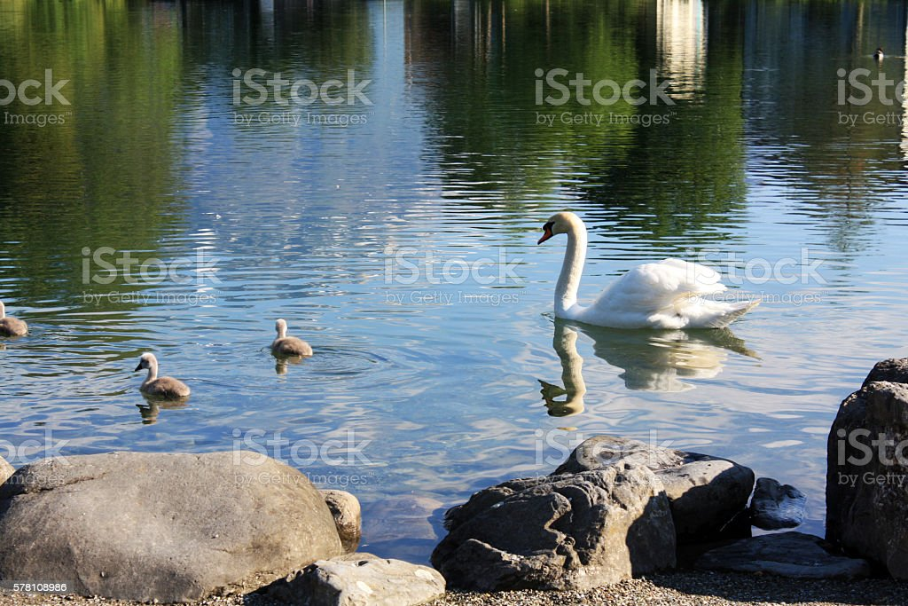 White swan family in Switzerland lake stock photo