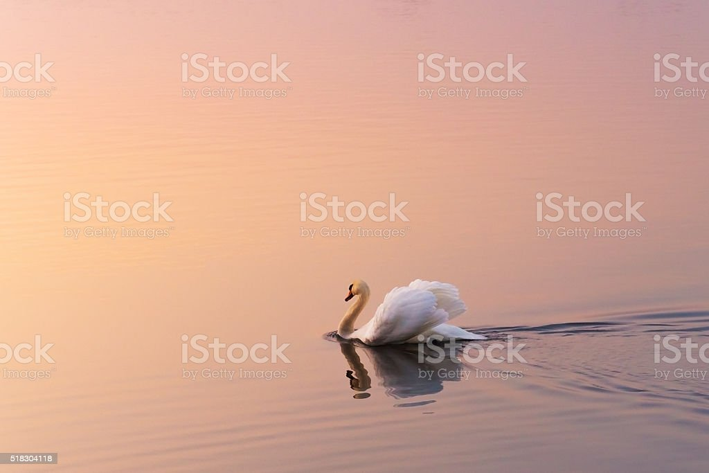 White swan in the rays of dawn stock photo