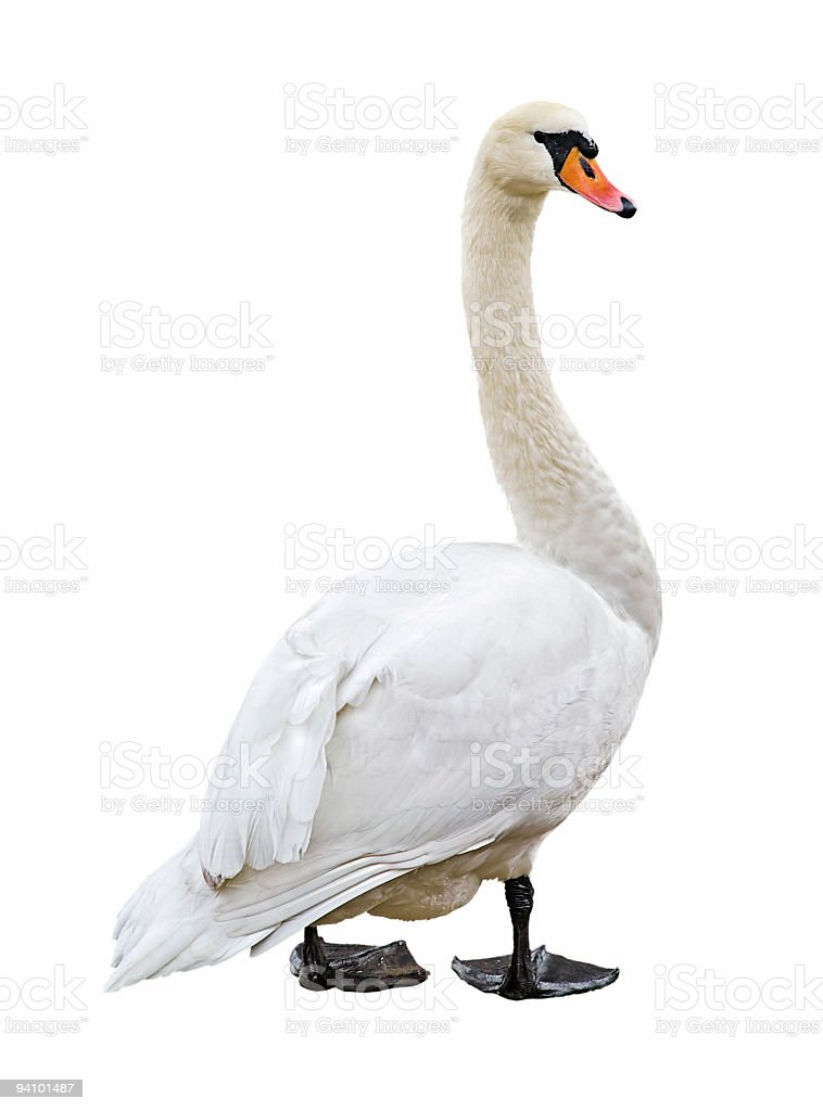 White swan isolated on white background stock photo