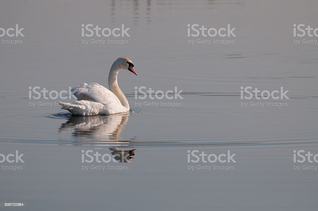 white swan looking back on the lake's surface royalty-free stock photo