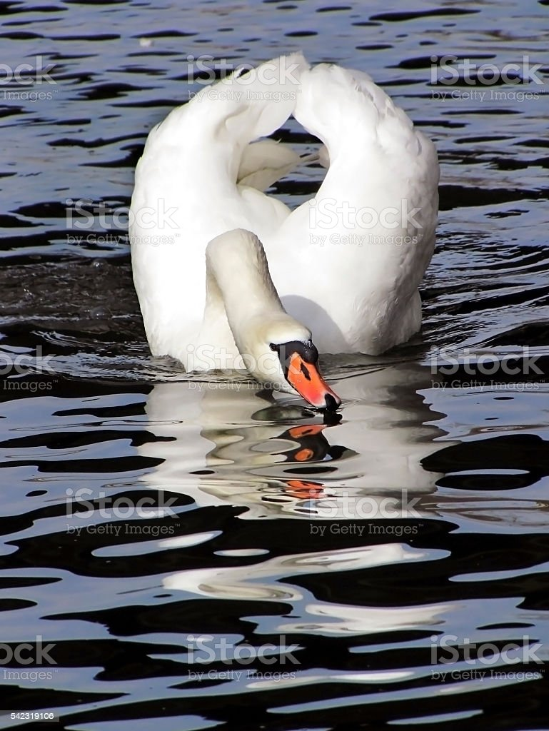 white swan on a black - blue water stock photo