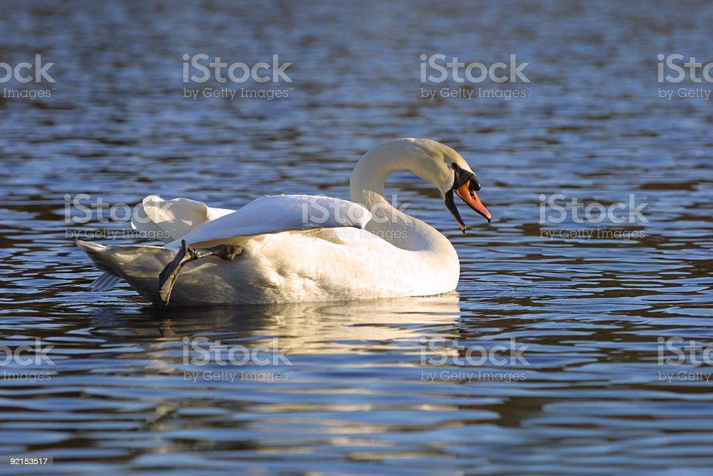 white swan on a lake royalty-free stock photo